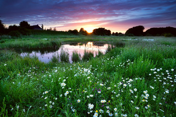 sunset over meadow with many daisy flowers