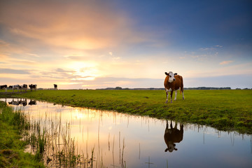 cow reflected in river at sunrise