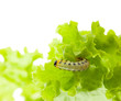 Caterpillar under lettuce leaf