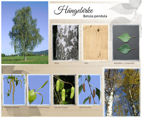Hängebirke Collage