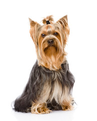 Yorkshire Terrier sitting in front. isolated on white background