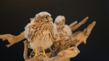 two young chick hawk sitting on a wooden driftwood
