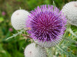 Close up of a thistle