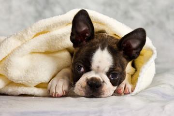 Boston terrier lying in white towels