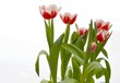 canvas print picture - Tulpen rot weiss