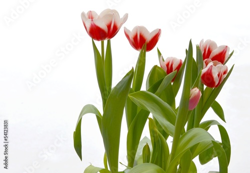 canvas print picture Tulpen rot weiss