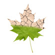 Wither maple leaf - 54124431
