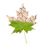 Wither maple leaf