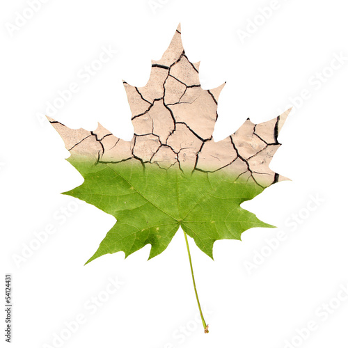Foto op Canvas Droogte Wither maple leaf