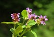 selfheal plants blooming with lila flowers