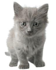 Small kitten go ahead isolated