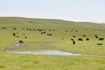 Cows on green meadow, Alberta (Canada)