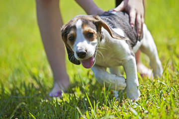 Hunting dog puppy playing