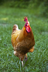 Red rooster walking in field