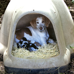 Mother dog with puppies in doghouse