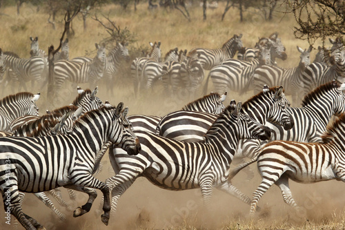 Fotobehang Zebra Herd of zebras gallopping