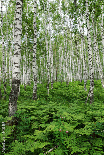 Fern thickets in a birch forest