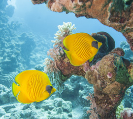 Masked butterflyfish on a tropical reef