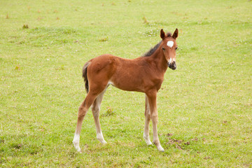 brown foal in meadow