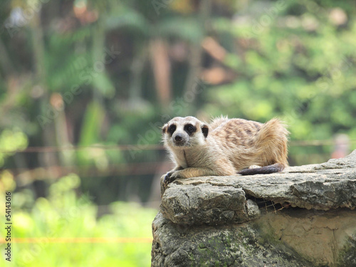 Photograph of a Meerkat at a zoo