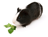 guinea pig and greens. On a white background.