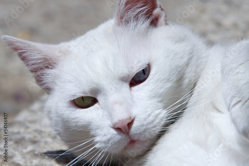 Closeup white cat
