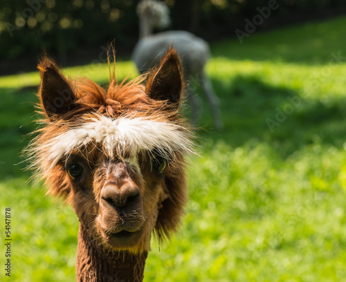 Young llama looks at you with big brown eyes