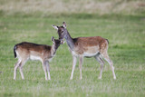 Fallow deer, Dama dama, Two females