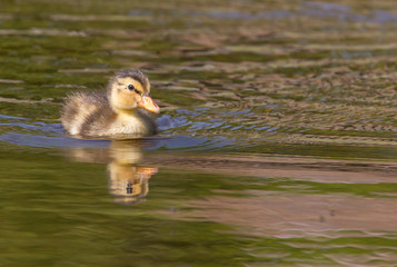 Duckling swimming in water