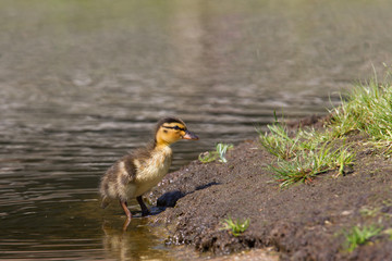 Duckling walking