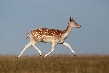 Fallow deer, Dama dama, single female