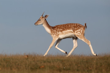 Fallow deer, Dama dama, single male running