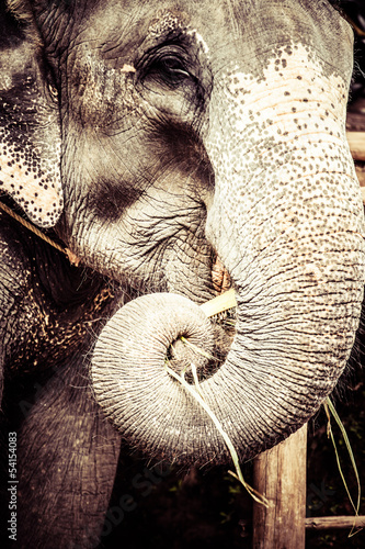Asian elephant in India.