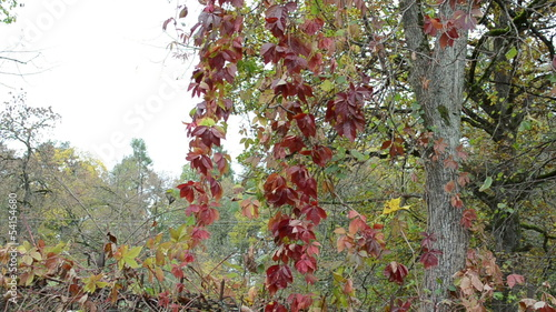 colorful creeper plant leaves autumn grow tree branches