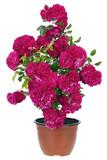 Valentine's pink roses pot