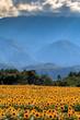 ヒマワリ畑と南アルプス