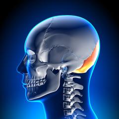 Brain Anatomy - Occipital Bone