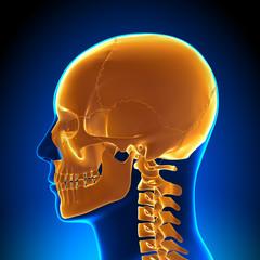 Brain Anatomy - Highlighted Skull