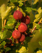 Red gooseberry