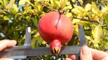 Caliper was used for pomegranate measurement
