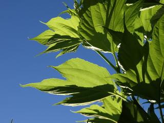 Blätter Maulbeerbaum