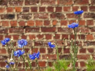 kornblumen vor ziegelmauer
