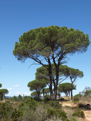Schirmpinien Provence