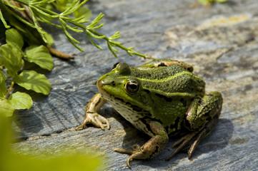 Green frog posing