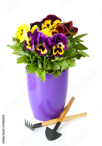 Foto op Canvas Pansies Beautiful pansies flowers isolated on a white