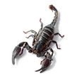 black scorpion on white background