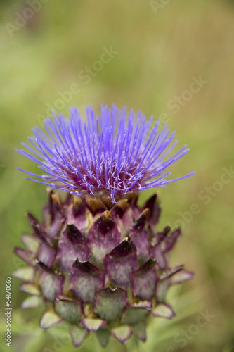 The Flower Of The Artichoke