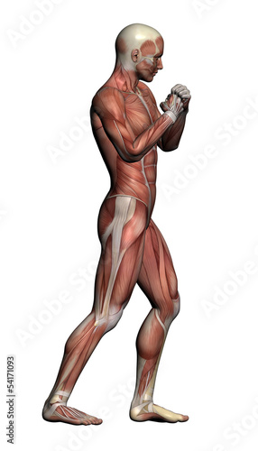 Human Anatomy - Male Muscle