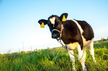 calves in the meadow race hf
