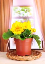 Piękne żółte pierwiosnki w doniczce na parapecie okna drewniane